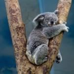 Cara Australia di Amy Coopes