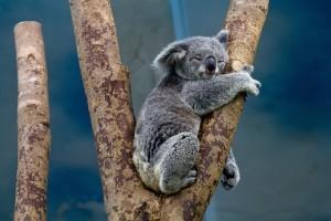koala-1100469_1920